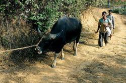 Gayal bull