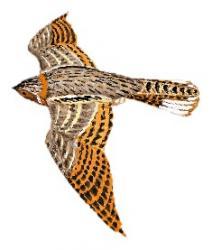 05 29 031 Caprimulgus badius flying m