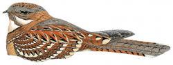 05 32 062 Caprimulgus donaldsoni dark bird m