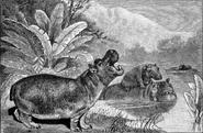 Dwarf Hippo family illustration