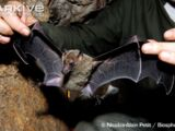 New Caledonia Blossom Bat