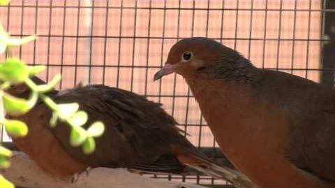 Socorro Doves Return to Mexico