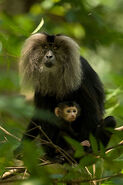 330px-Lion-tailed macaque with baby