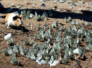 Wild Guinea Pig with butterflies