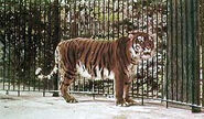 Colour-enhanced photo of a captive Caspian tiger at the Berlin Zoo, 1899