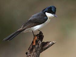 2011-PhotoComp-2-Restless-Flycatcher