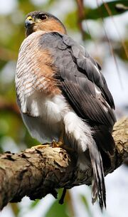 800px-Puerto Rican Sharp-shinned hawk perched on tree limb