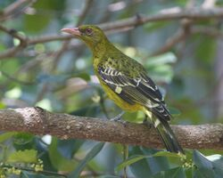 Yellow Oriole ( Oriolus flavocinctus) - Flickr - Lip Kee
