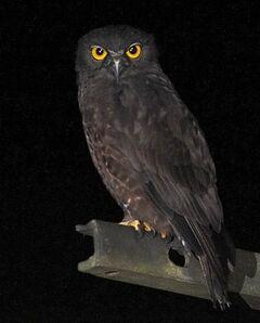 Humes hawk owlns