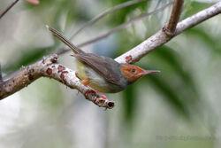 Olive-backed-Tailorbird-The-Menjangan-Bali-Indonesia-by-Adam-Riley-010