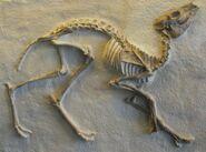 Leptomeryx skeleton