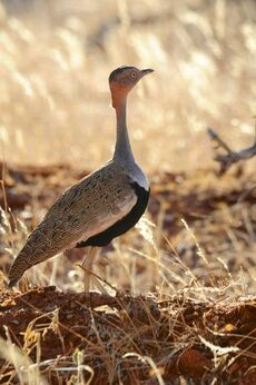 Buff-crested Bustard 7