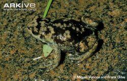 Mountain-climbing-frog-dorsal-view