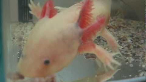 Axolotl- little monster