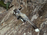 Hose's Pygmy Flying Squirrel
