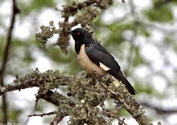 Speculipastor bicolor Magpie Starling 5854 c Andy and Gill Swash WorldWildlifeImages com