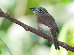 550px-Birdforum 054