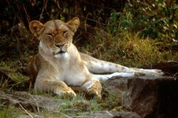 Arican lion female