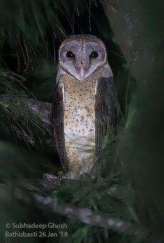 Andaman masked owl