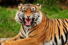 Depositphotos 37289893-stock-photo-roaring-tiger