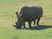 Northern White Rhinoceros Angalifu