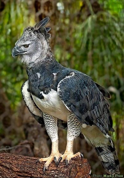 Harpy Eagle | Animal Database | FANDOM Powered By Wikia