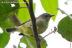 Pygmy ibon 112oct15