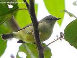 Pygmy White-eye