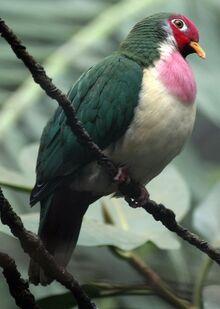 Jambu fruit dove shutterstock 282851