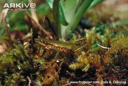 Mindo-stubfoot-toad-on-moss