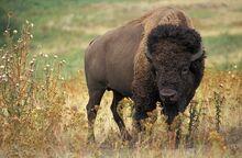 American Bison1