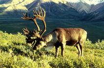 Reindeer1