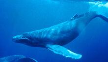 Humpback Whale1