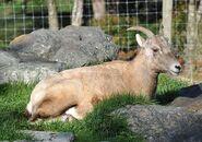 Bighorn Sheep2