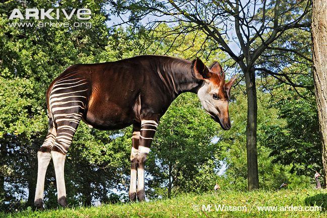 Okapi | Animals Wiki | FANDOM powered by Wikia