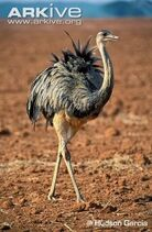 Greater-rhea-walking