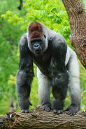 Gorilla-gorilla shutterstock 102183349