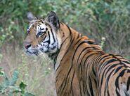Bengal-Tiger-India