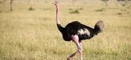 Ostrich-in-kidepo-valley-ugandasafari