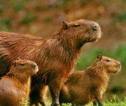 Capybara nationalgeographic 1518115 2 ngsversion 1538507728041 adapt 1900 1