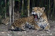 Chapultepec Zoo - Jaguar (02)