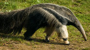 Anteater-banner-1