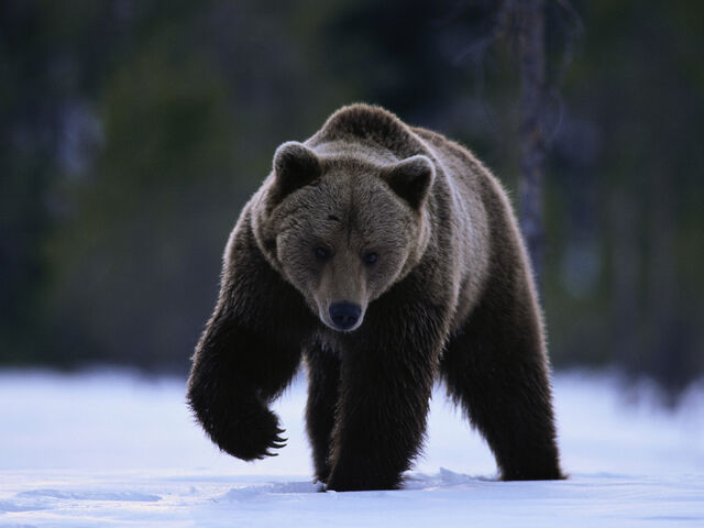 File:Free Grizzly Bear Pictures.jpg