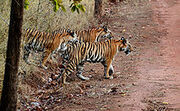 220px-India Tiger cubs