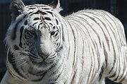 220px-Royal White Bengal Tiger headshot at Cougar Mountain Zoological Park 2