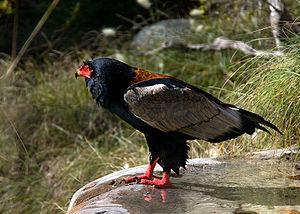 300px-Terathopius ecaudatus -San Diego Zoo-8a