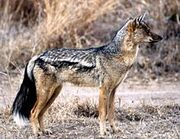 220px-Side-striped Jackal