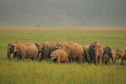 220px-An elephant herd at Jim Corbett National Park