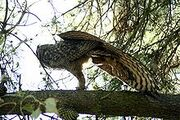 220px-Great-horned-owl-stretching