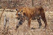 220px-Bengal Tiger Karnataka